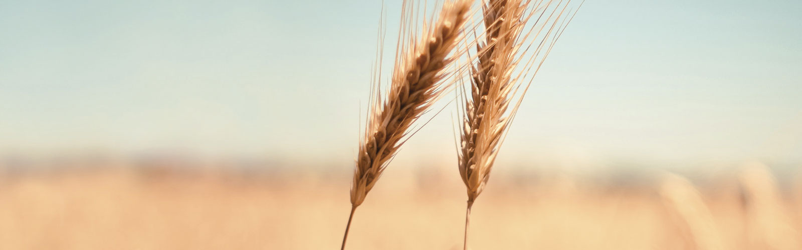 Image of Soft wheat flours